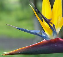 Bird Of Paradise by Claire Davie