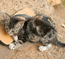 Fiji kitten 1 by squires