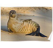 Endangered Hawaiian Monk Seal Poster