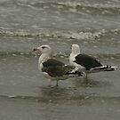 Great Black-Backed Gull by Robert Abraham