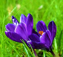 Prelude to Spring; Purple Crocus by Godisgr8t2me