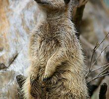 Meerkat by Elmacca