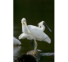 Yellow Billed and Royal Spoonbills Photographic Print