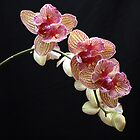 Phalaenopsis ll by Julie's Camera Creations <><