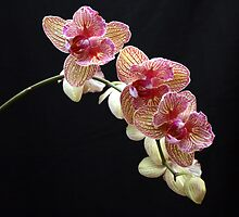 Phalaenopsis ll by Julie's Camera Creations <><