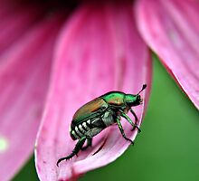 Japanese Beetle by BigD