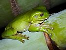 Frog at Paradise Point, Gold Coast. by Virginia McGowan