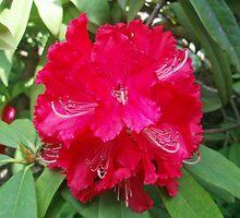 Rhododendron by presbi