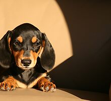 Miniature smooth haired Dachshund - Libby by SeaMonKeY69