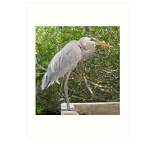 Great Blue Heron at Santa Cruz Art Print