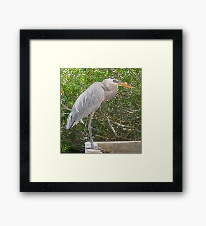 Great Blue Heron at Santa Cruz Framed Print