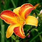 Bi-Colour Day Lily by AnnDixon