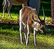 Youngster Addax by miroslava