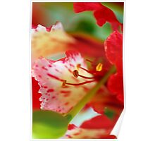 Blooming Poinciana Poster