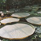 Lilly Pads in Swamp by Edward Denyer