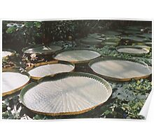 Lilly Pads in Swamp Poster