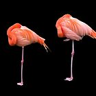 Flamingos   Black by James  Key