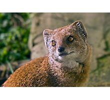 Yellow Mongoose Photographic Print