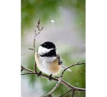 Winter Black Capped Chickadee Photographic Print