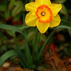 King Alfred Daffodil by MaupinPhoto