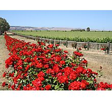 Winery Roses Photographic Print