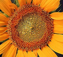 SUNFLOWER by Stephen Thomas