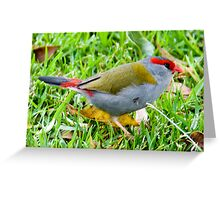 Red Browed Firetail, Queensland, Australia Greeting Card