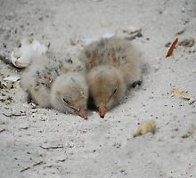 Caspian Tern Chicks by Fred  Smith