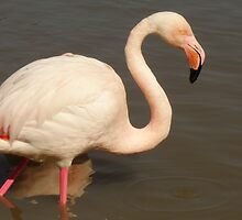 Greater Flamingo by pluspixels
