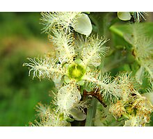 Brush box Flower Photographic Print