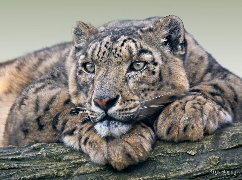 Snow Leopard Dreaming by Krys Bailey