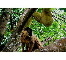 Collared Brown Lemur Photographic Print