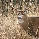 Whitetail Buck by TingyWende