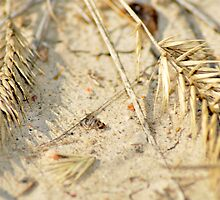 Crested wheat by kachr00