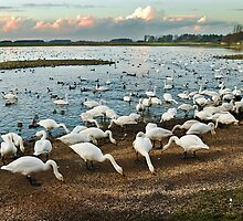 Swans at Martin Mere WWT by Steve  Liptrot