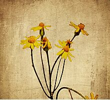 Golden Ragwort - Textured Photographic Print