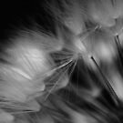 Dandelion Study #1 by David Hawkins-Weeks