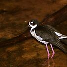 Black-necked Stilt by Lisa G. Putman