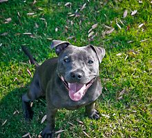 Dolly by dolbullbreeds