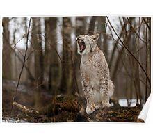 Yawning Lynx 2 Poster