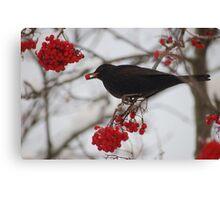 Eating blackbird Canvas Print