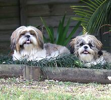 "Shih Tzu, ""Oscar"" and ""Dude"" by dolnonsporting"