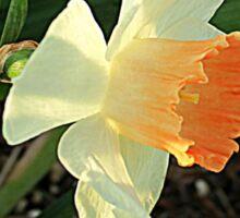 Spring Daffodil Sticker