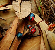 Jewelled Beetles  Ground Shield Bugs - Choerocoris paganus - (best viewed large)  by Of Land & Ocean - Samantha Goode