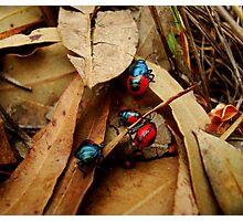 Jewelled Beetles  Ground Shield Bugs - Choerocoris paganus - (best viewed large)  Photographic Print
