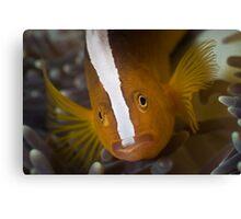 Skunk Anemonefish Canvas Print