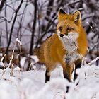 STOCK-Fox in Snow by Jay Ryser