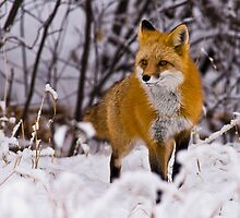 STOCK-Fox in Snow by Jay Ryser