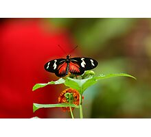 Butterfly on a perch Photographic Print