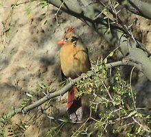 Female Cardinal in a Tree by Ingasi